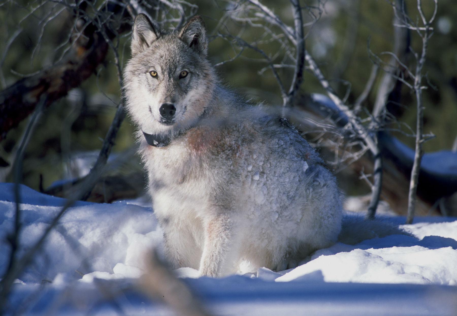wolf_eats_raw